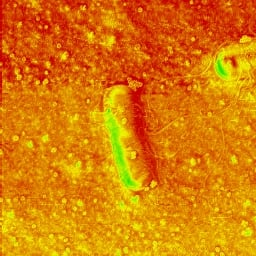 AFM phase image of live Bacillus subtilis recorded simultaneously with the AFM topography.