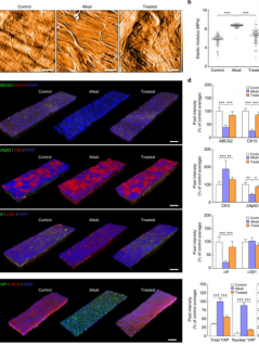 Assessment of corneal substrate biomechanics and its effect on epithelial stem cell maintenance and differentiation