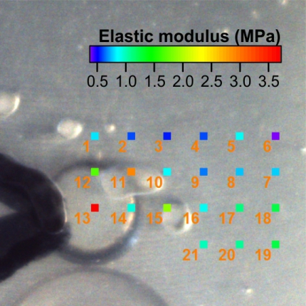 Nanomechanical analysis of alginate hydrogels