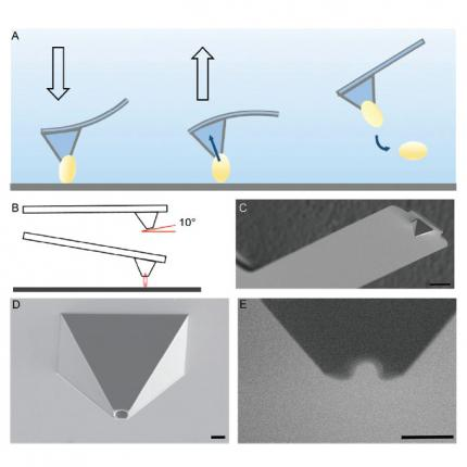 Bacterial adhesion force quantification by fluidic force microscopy