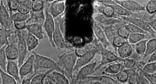 Cell-cell adhesion studied with Flex-FPM